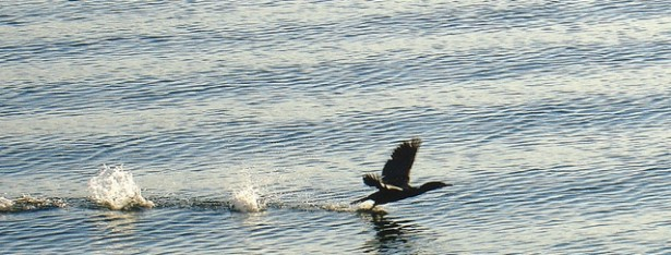 Duck Flying Off the Water