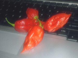 Ghost Chili Pepper - Bhut Jolokia chili pepper